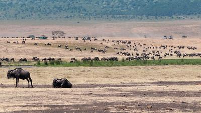 A large herd of Wildebeest - Ngorogoro crater, Tanzania.