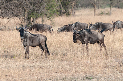 Wildebeest migrating - Serengeti N.P., Tanzania.