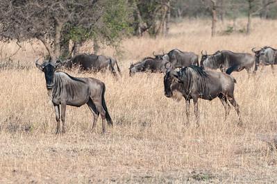 Wildebeest migrating - Serengeti N.P., Tanzania.