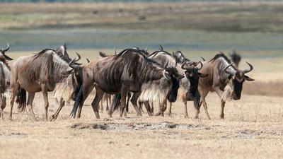 Wildebeest, Ngorogoro crater, Tanzania.