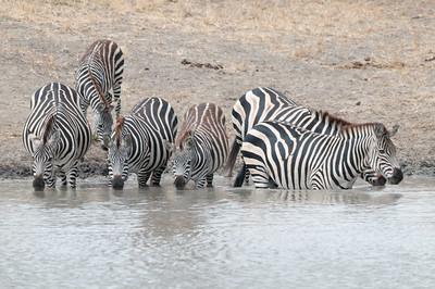 Zebra at a watering hole, Tarangire N.P., Tanzania.