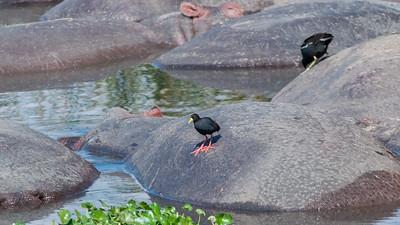 Black crake on hippos