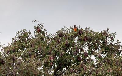 African orange-bellied parrot, Tarangire N.P., Tanzania.