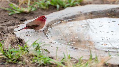 ?Red bird, Tarangire N.P., Tanzania.
