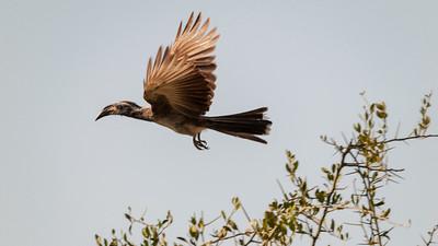 Gray hornbill