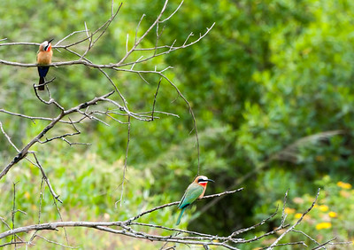 White-headed bee eater