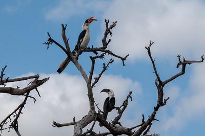 Redbill hornbill