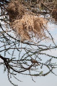 Rufous-tailed weaver and nest