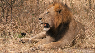 Lion, Tarangire N.P., Tanzania.