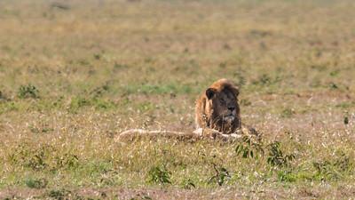 A breeding pair of lions, Serengeti N.P., Tanzania.