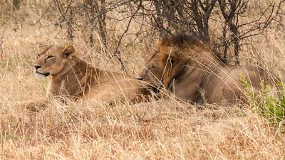 A mating pair of lions, Tarangire N.P., Tanzania.