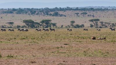 Zebras stroll past a breeding pair of lions; Serengeti N.P., Tanzania.