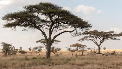 A group of lionesses rest in the grass, Serengeti N.P., Tanzania.