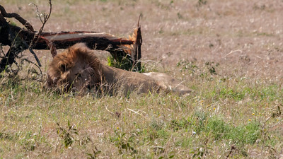 Lion resting, not far from where his brother mates with a lioness of the pride; Serengeti N.P., Tanzania.