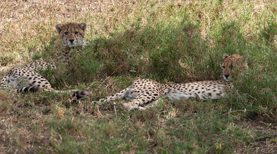 Cheetah and cubs, Serengeti N.P., Tanzania.