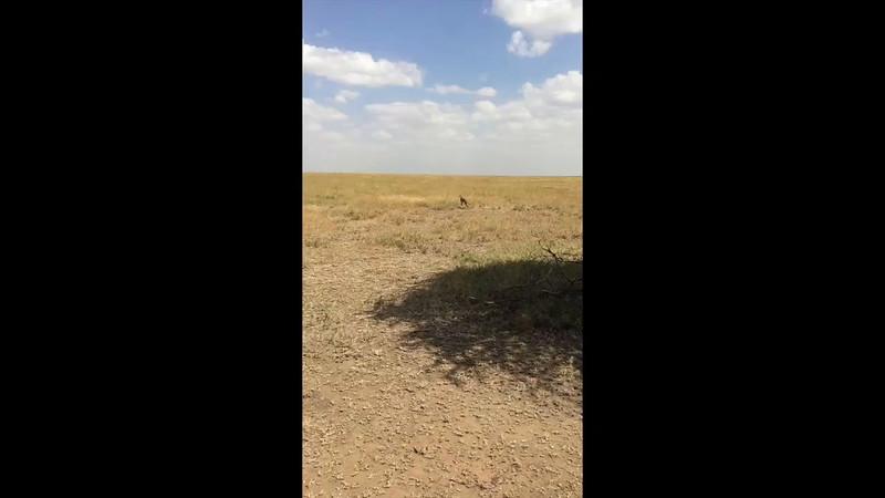 Cheetah catches a Thomson gazelle - Serengeti National Park, Tanzania. Movie by John Kotz.