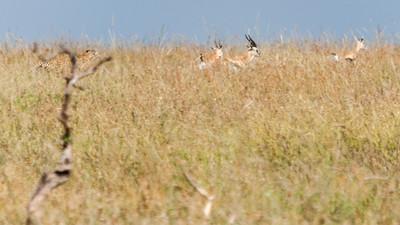 A cheetah catches a Thomson gazelle, with two cubs in training; Serengeti N.P., Tanzania.