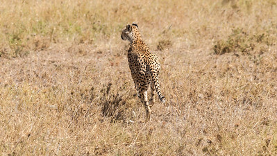 A cheetah catches a Thomson gazelle, with two cubs in training; Serengeti N.P., Tanzania.