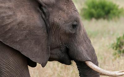 Elephants, Tarangire N.P., Tanzania.