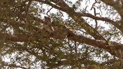Leopard resting in a tree; Serengeti N.P., Tanzania.