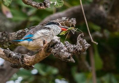 Silverbird flycatcher