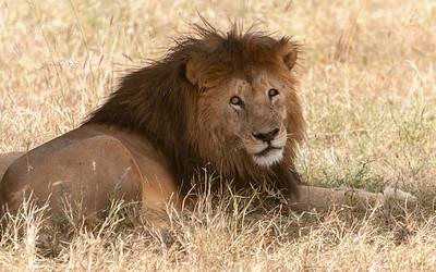 Lion; Serengeti N.P., Tanzania.