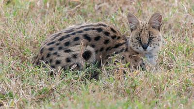 Serval (cat) - Ngorogoro crater, Tanzania.