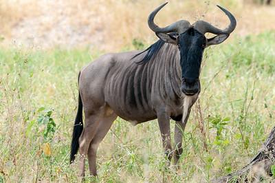 Wildebeest, Tarangire N.P., Tanzania.