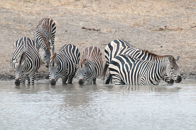 Zebra at a watering hole, Tarangire N.P., Tanzania.
