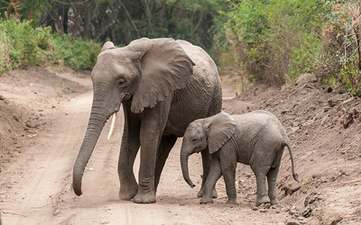 Elephants, Lake Manyara N.P., Tanzania.
