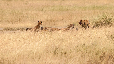 Hyenas take over as a lioness leaves her kill; Serengeti N.P., Tanzania.