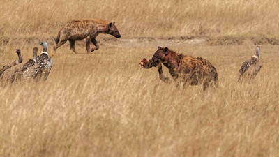 Hyena and vulture at site of a lion kill, Serengeti N.P., Tanzania.