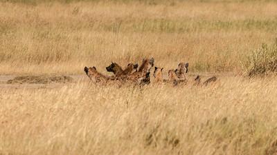 Hyena at site of a lion kill, Serengeti N.P., Tanzania.