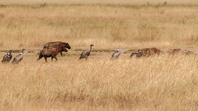 Vultures and hyena gather beside a lion kill, Serengeti N.P., Tanzania.