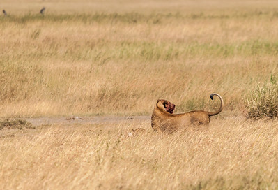 A lioness and her kill, Serengeti N.P., Tanzania.