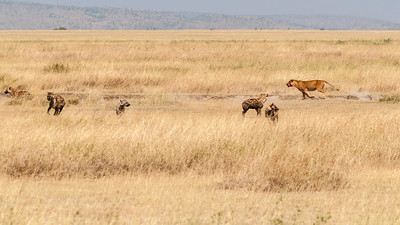 A lioness defends her kill from hyenas, Serengeti N.P., Tanzania.