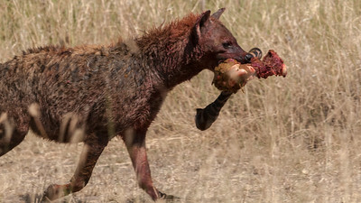 Hyena (matriarch?) makes off with a choice piece from the site of a lion kill, Serengeti N.P., Tanzania.