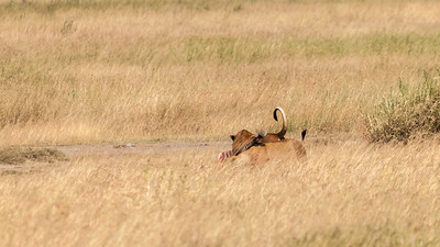 Two lionesses guard their kill from hyena, Serengeti N.P., Tanzania.