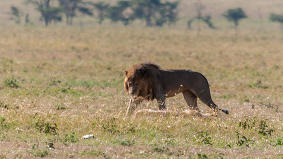 A breeding pair of lions, Serengeti N.P., Tanzania.