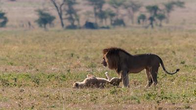 Lions mating, Serengeti N.P., Tanzania.