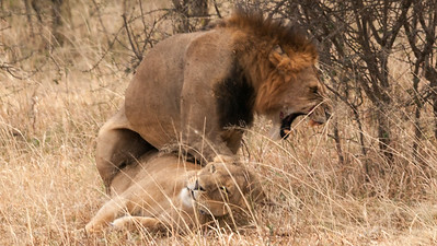 A mating pair of lions, Tarangire N.P., Tanzania.