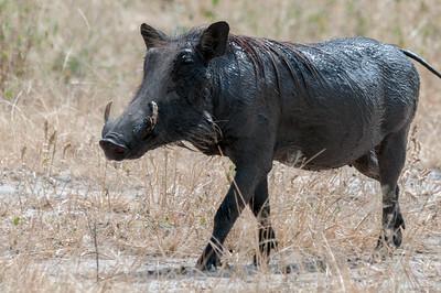 Warthog, Tarangire N.P., Tanzania.