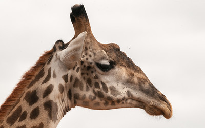 Giraffe, Tarangire N.P., Tanzania.