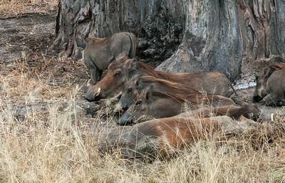 Warthog family resting, Tarangire N.P., Tanzania.