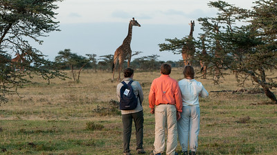 We approach the giraffes on foot... Enashiva reserve, Tanzania.