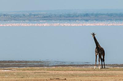 Giraffes - with thousands of flamingo lining the lake; Lake Manyara N.P., Tanzania.