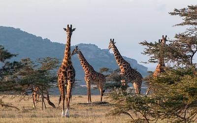 Giraffe, Enashiva reserve, Tanzania.