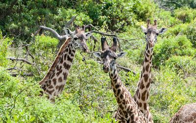 Giraffe, Arusha N.P., Tanzania.