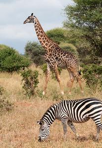 Giraffe and Zebra, Arusha N.P., Tanzania., Tarangire N.P., Tanzania.