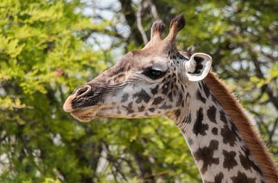 Giraffe, Serengeti N.P., Tanzania.